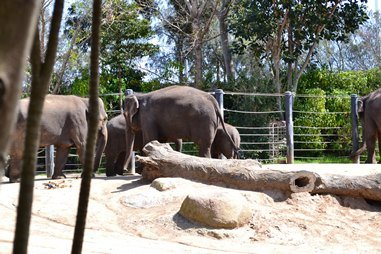 Melbourne zoo elephants